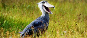 1 Day Birding in Mabamba Swamp