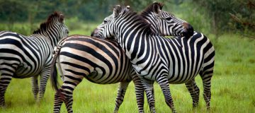 9 Days Uganda Safari Adventure