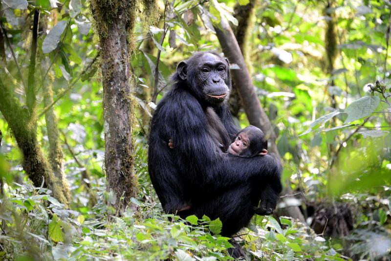 Chimpanzee mother Kibale