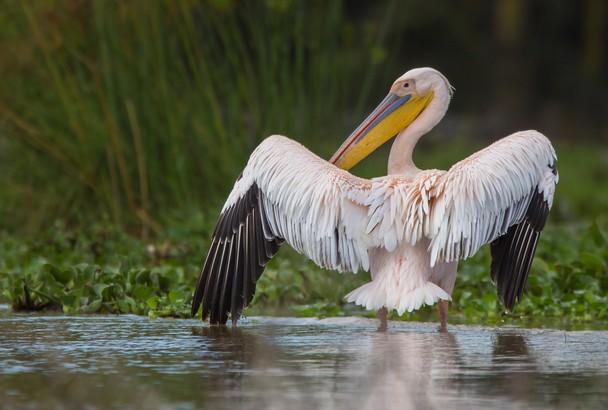 Pink backed Pelican Uganda