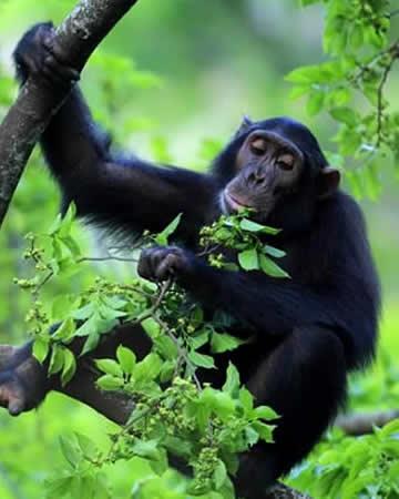 Chimp Tracking